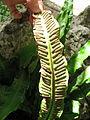Phyllitis scolopendrium subsp. scolopendrium 05 by Line1.jpg