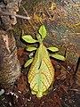 Phyllium siccifolium 01.JPG