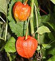 Physalis alkekengi var. franchetii (fruits).JPG
