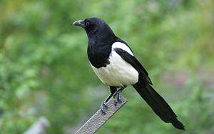 Piebald - Eurasian magpie (P. pica)