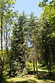 Picea asperata Rogów.JPG