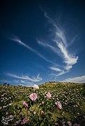 Picking rose to make Golab in Fars 15.jpg