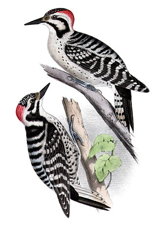 Ladder-backed woodpecker - Comparison of ladder-backed (above) and Nuttall's woodpeckers
