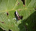 Picture-winged Fly, Physiphora alceae.. Ulidiidini (46327223651).jpg