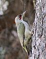 Picus viridis sharpei 121.jpg