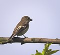 Pied flycatcher (36889364672).jpg
