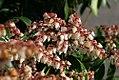 Pieris japonica Dorothy Wycoff 1zz.jpg
