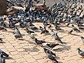 Pigeons123.jpg