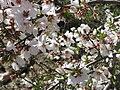 PikiWiki Israel 5777 Spring in Bekoa Almonds.jpg