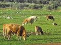 PikiWiki Israel 7405 Cows.jpg