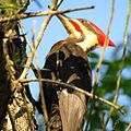 Pileated Woodpecker (26715990980).jpg