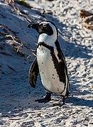Pingüino de El Cabo (Spheniscus demersus), Playa de Boulders, Simon's Town, Sudáfrica, 2018-07-23, DD 11.jpg