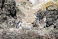 Pinguinos de Magallanes Monumento Natural Islotes de Puñihuil 17.jpg