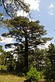 Pinus brutia, Findikli 1.jpg