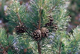 Pinus sylvestris branch.jpg