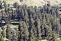Pinus sylvestris hamata, Giresun 2017-07-02 01-5.jpg