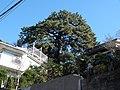 Pinus thunbergii of Akiba.A.JPG