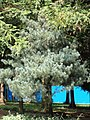 Pinus wangii - Kunming Botanical Garden - DSC02739.jpg