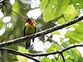 Pipreola frontalis - Scarlet-breasted Fruiteater.jpg