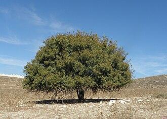 Pistacia palaestina - Image: Pistacia palaestina