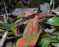 Pitcher Plant (Nepenthes tentaculata) (6771909899).jpg