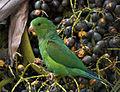 Plain Parakeet (Brotogeris tirica) -eating fruit in tree.jpg