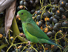 Plain Parakeet (Brotogeris tirica) -eating fruit in tree.jpg