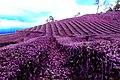 Plantação de chã da Gorreana - panoramio.jpg