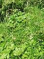 Platanthera chlorantha 27.jpg