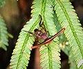 Platystomatidae (Stalk-eyed Flies) Achias sp. male (48647439361).jpg