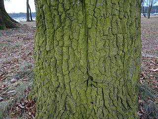 Zelený povlak na kôre stromu spôsobený drobnozrnkom