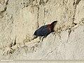 Plumbeous Water Redstart (Rhyacornis fuliginosa) (15708770139).jpg