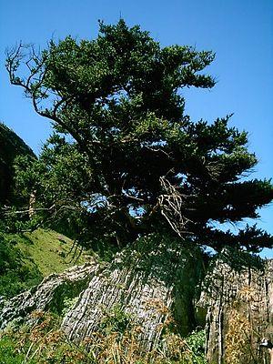 Wildlife of Cameroon - Podocarpus latifolius