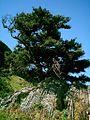 Podocarpus latifolius.jpg