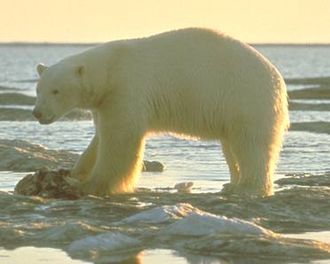 Geography of Newfoundland and Labrador - The polar bear (Ursus maritimus) is the dominant carnivore in the tundra