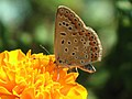 Polyommatus (40325964224).jpg
