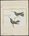 Polytmus mango - 1700-1880 - Print - Iconographia Zoologica - Special Collections University of Amsterdam - UBA01 IZ19100043.tif