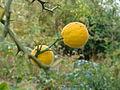 Poncirus trifoliata (Monteaperta, Italie).JPG