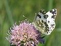 Pontia edusa - Eastern Bath white - Белянка рапсовая (40465132514).jpg