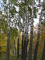 Populus × canescens (trunk).jpg