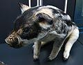 Porc mangalica, antiga raça del porc domèstic, exposició del Regne de la sal.JPG