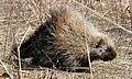 Porcupine (5670622729).jpg