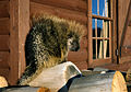 Porcupine NPS00674.jpg