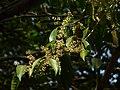 Poreng (Assamese- পৰেং) (3294959355).jpg