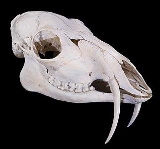 Siberian Musk Deer  Moschus moschiferus  (Linnaeus 1758) (View ¾ face.) - Siberia