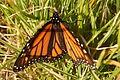 Portugal - Algarve - Meia Praia - monarch butterfly (25684075932).jpg