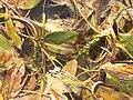 Potamogeton nodosus sl56.jpg