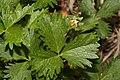 Potentilla flabellifolia 0544.JPG