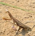 Praying Mantis (29257245614).jpg