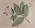 Pride-of-India, queen flower or pyinma (Lagerstroemia specio Wellcome V0042607.jpg